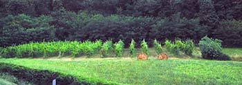 Piccolo vigneto ed erbaio in zona collinare dei Colli Euganei, nei pressi di Abano Terme(PD).