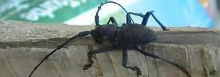 Immagine che ritrae un insetto molto comune nei vecchi boschi, ovvero la Saperda, un coleottero cerambicide.