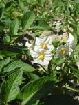 Copertina di agosto 2020; fiori di Solanum tuberosum.